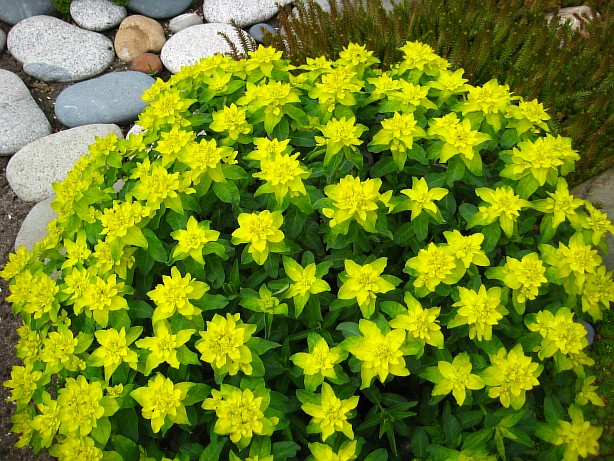 фото дачных цветов: