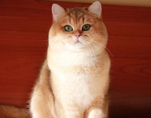 Кот породы мару