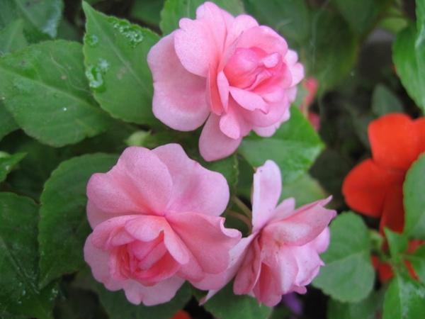 махровый розовый жасмин фото