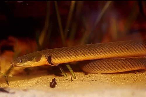 А то я тут еще одну мечту лелею - купить рыбу-змею