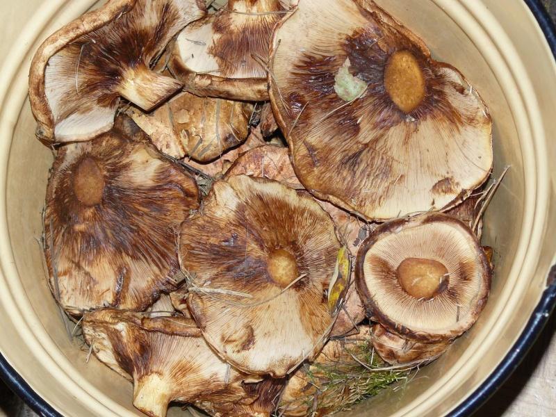 Как приготовить из грибов коровников икру