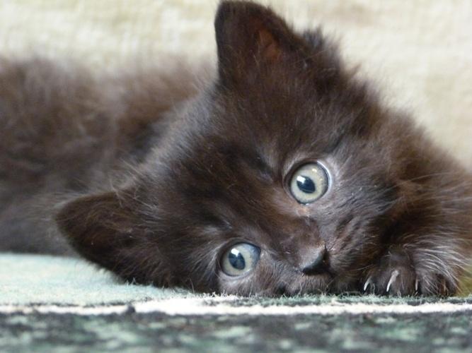 фото черного пушистого котенка историю бензиновых двигателей