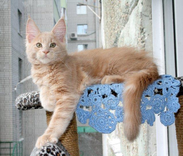 котенок мейн кун фото и вес