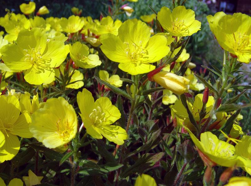 Желтые многолетние цветы на даче