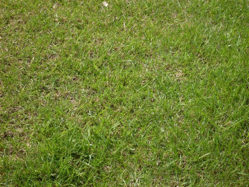 газонная трава лилипут фото и отзывы