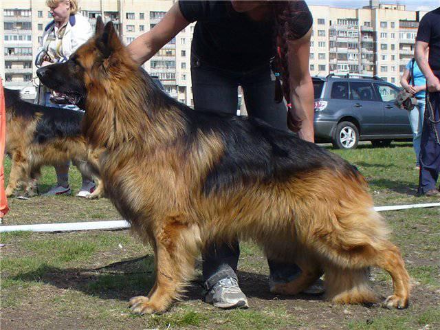 ...правило длинношерстную НО от собаки со стандартной шерстью с первого...