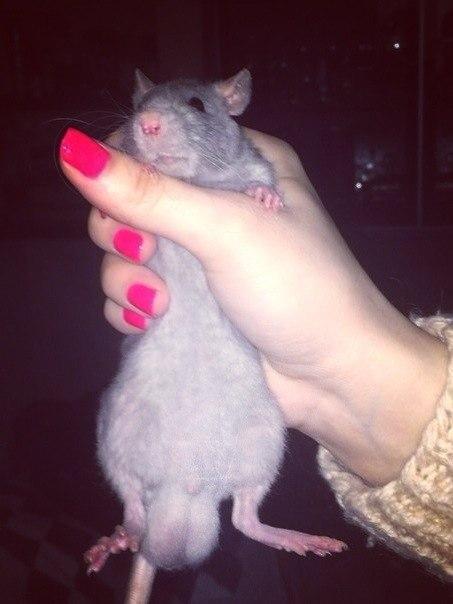 Крысята рост фото людей нормально