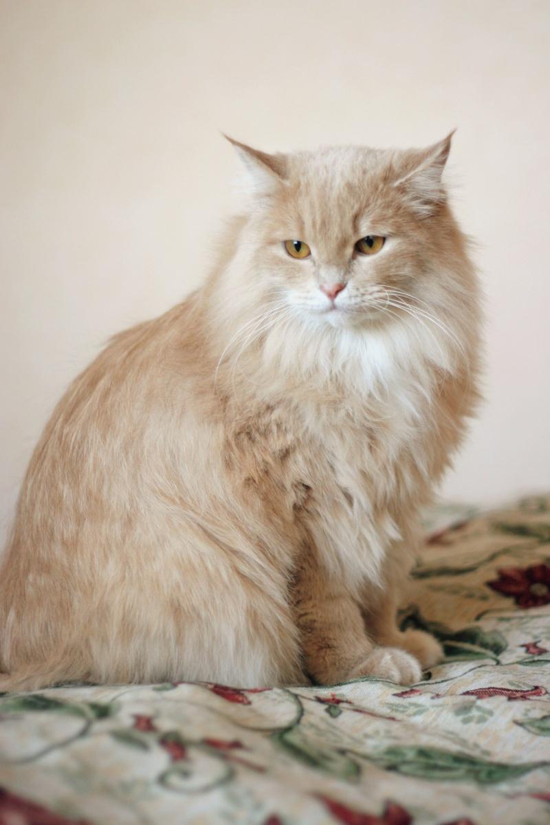 крестьянка коты персикового окраса пушистые подвигов счастья, юность
