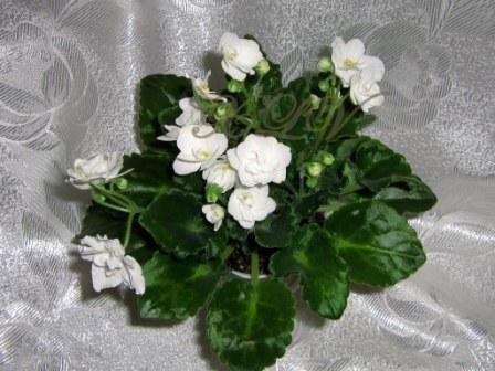 Фиалка с белыми цветами