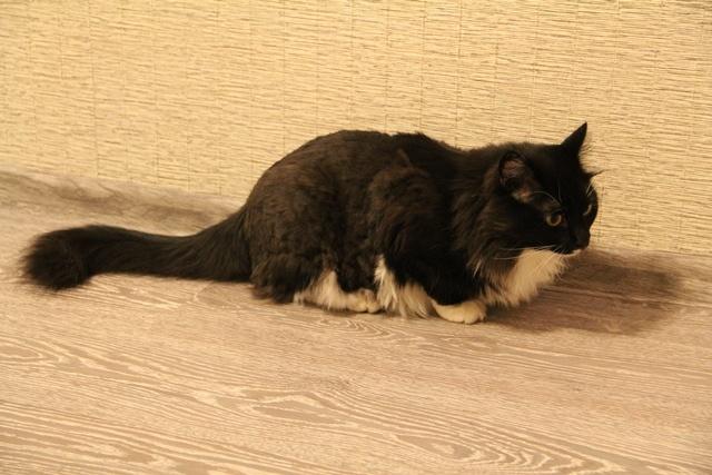 Найден кот черно-белый