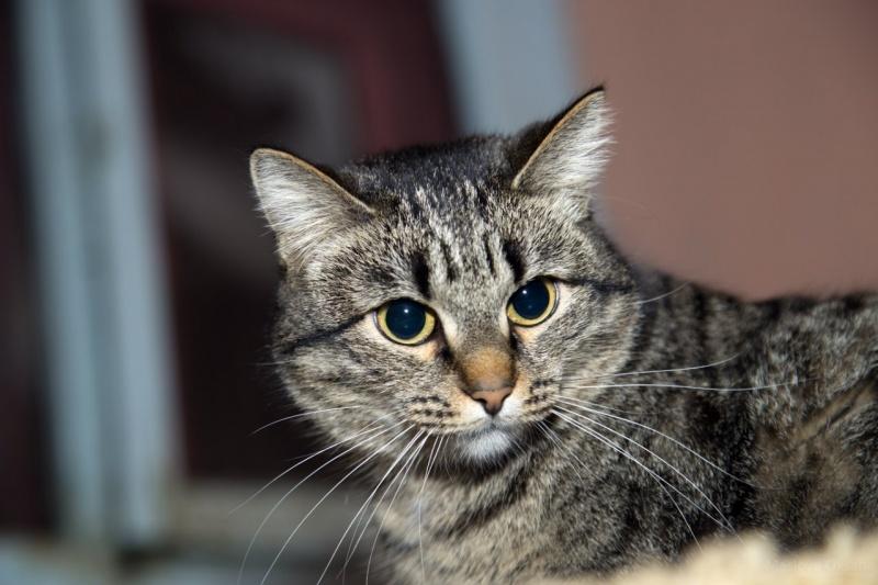 Кот фото серый с полосками