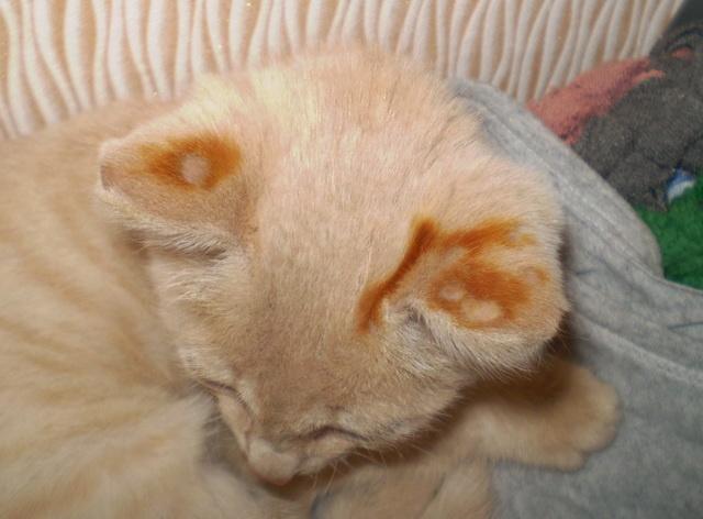 У кота на ушке лишай
