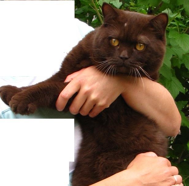 Фото коричневого британского кота