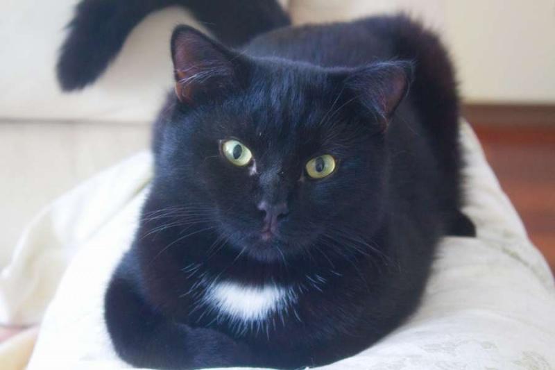 Чёрный кот с белой грудкой фото